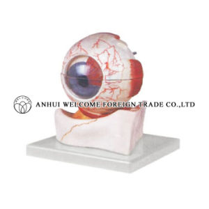 The Model of Eyeball to Show Internal Details pictures & photos