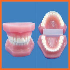 Dental Teeth Care Model for Medical Educational