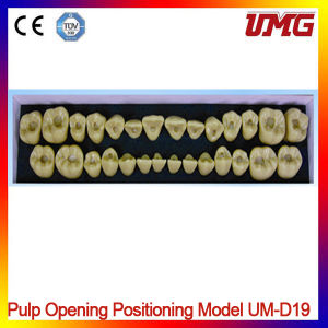 Dental New Product Pulp Opening Positioning Model pictures & photos
