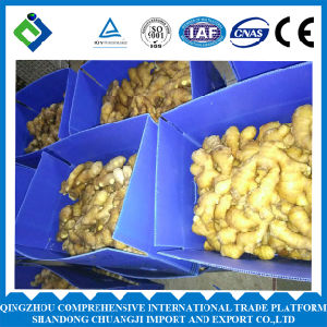 Chinese Fresh Ginger Whole Shandong Origin pictures & photos
