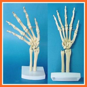 Bones Of The Hand And Forearm For Medical Equipment pictures & photos
