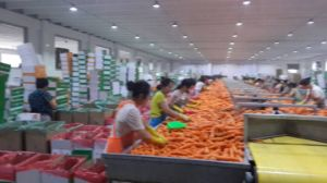 2016 Price of Fresh Carrot pictures & photos