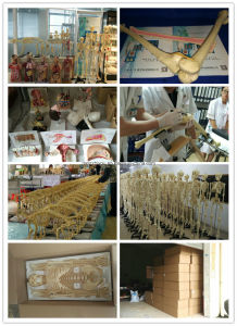 West Desk Type, Antomic Trachea and Lung Model with Description Plate pictures & photos
