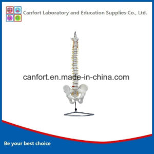 Anatomy Model Natural Size Human Spine Model with Pelvis pictures & photos