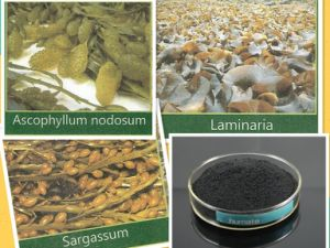 Seaweed Extract with 99.5% Min Solubility pictures & photos