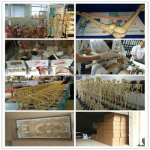 45cm Unisex Human Anatomy Torso Model for Sale (12 PCS) pictures & photos