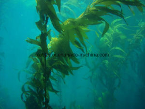 Manufacturer Natural Herbal Kelp Seaweed Extract Powder pictures & photos