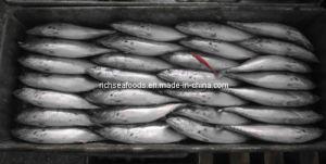 Sea Whole Round Frozen Frigate Mackerel Fish
