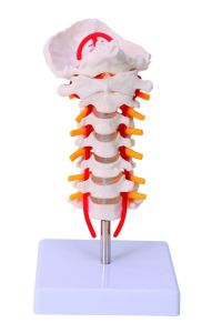 Human Size Cervical Model with Discs and Spinal Nerves Anatomy Model pictures & photos