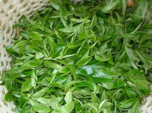 Green Tea Dry Extract Camellia Sinensis Tea Polyphenol pictures & photos