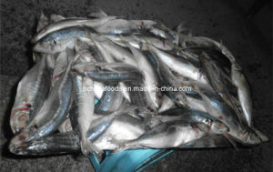 Big Horse Mackerel Frozen Seafood