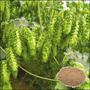 High Quality Hops Extract/ 4%-10% Flavonoids pictures & photos
