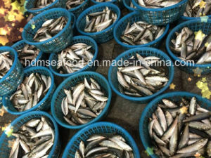 Light Catch Sardine Fish for Tuna Bait (Sardinella aurita) pictures & photos