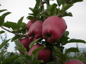 Huaniu Apple - 4