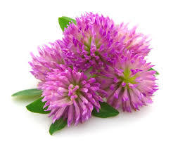 Isoflavones Red Clover Extract for Food Supplement pictures & photos
