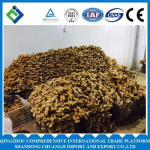 2016 Fresh Chinese Ginger for Exporting with High Quality pictures & photos