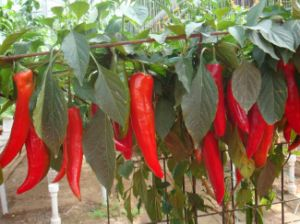 Export Good Quality Fresh Chinese Chilli pictures & photos