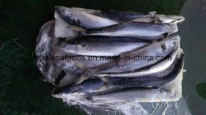 Chinese White Belly Mackerel Factory pictures & photos