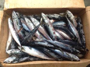 150-200g Frozen Pacific Mackerel Fish Price pictures & photos