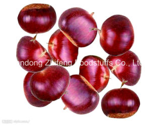 Size 60-80 Fresh Chestnut pictures & photos