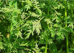 Artemisia Extract 98%Artemisinin for Pharmaceuticals pictures & photos