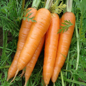 Fresh Red Carrots in China pictures & photos