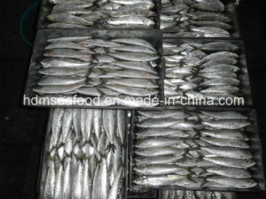 Sardine Fish for Bait pictures & photos