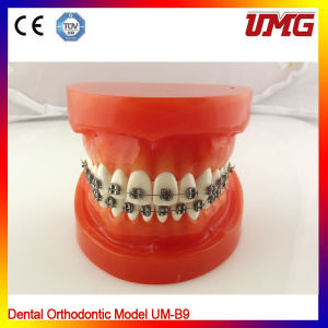 Dental Model, High Quality Dental Model with 32 Teeth pictures & photos