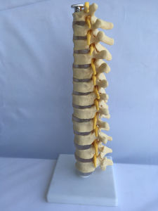 Natural Size Human Thoracic Vertebra Skeleton Medical Model (R020710)