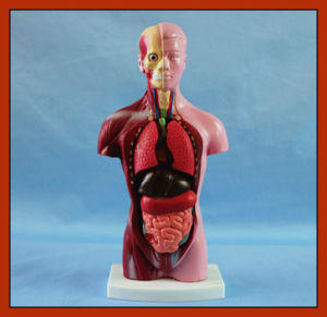 28cm Tall Anatomy Human Torso Model (15 PCS) for Education Toy