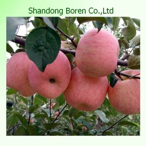 Sweety FUJI Apple From China