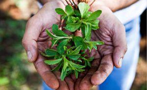 Herbal Natural Sugar Rebaudioside a 98% Stevia pictures & photos