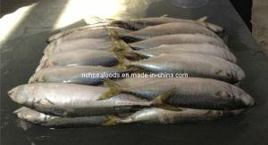 Frozen Seafood Big Pacific Mackerel