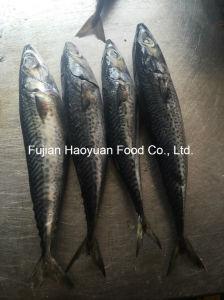 Supply High Quality Frozen Mackerel pictures & photos