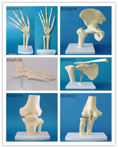 Human Anatomical Simulation Elbow Joint Skeleton Model for Medical Teaching pictures & photos