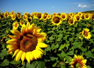 China Supplier Raw Sunflower Seeds 5009 with Top Quality pictures & photos
