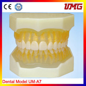 Enlarged Dental Care Anatomical Teeth Teaching Model, Tooth Model pictures & photos