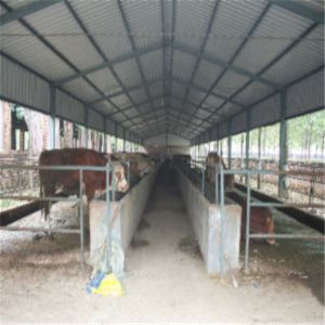 Light Steel Shed for Dairy Cow and Milk Cow pictures & photos