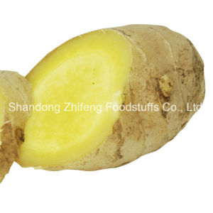 Shandong Zhifeng Food Fresh Ginger pictures & photos