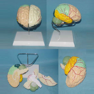 Lab Demonstration Human Labeled Brain Anatomic Model (R050101) pictures & photos