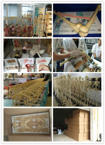 Life-Size Plastic Medical Anatomical Human Skull Model (16 Parts) pictures & photos