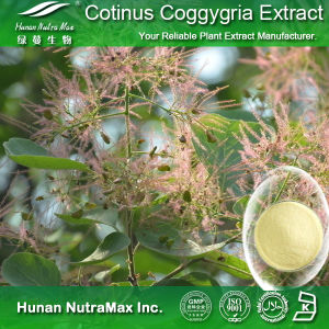 High Quality Cotinus Coggygria Extract (4: 1~20: 1, Fisetin 20%~98%)