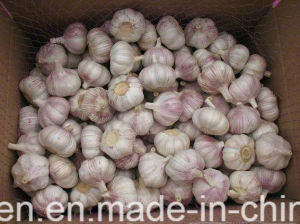 Exportting Standard Fresh Purple Garlic New Harvest in Jinxiang for Sell pictures & photos