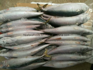 Scomber Japonicus/Aquatic Food/Mackerel Fish pictures & photos