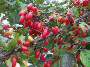 High Quality Cornus Officinalis Extract 10: 1, 5: 1 pictures & photos
