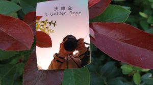 Colorful Eyeglasses Polarized Tac Lens (R Golden Rose) pictures & photos