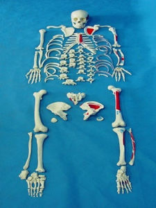 High Quality Medical Anatomy Body Scattered Bone Skeleton Parts Model (R020109) pictures & photos