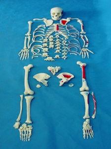 High Quality Medical Anatomy Body Scattered Bone Skeleton Parts Model (R020109)