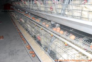 Layer Chicken Cage for Poultry Farming (A type) pictures & photos