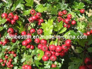 Hawthorn Berry Oil